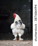 Small photo of Young rooster on a threshold of hen house
