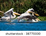 pair of  american great white... | Shutterstock . vector #38770330