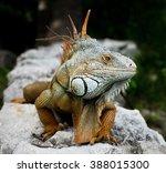 Green Iguana  Latin Name ...