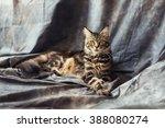 maine coon cat lies on... | Shutterstock . vector #388080274