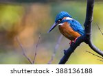 The Common Kingfisher  Alcedo...