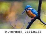 The Common Kingfisher  Alcedo...