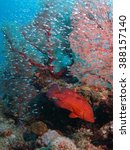 Small photo of A lot of small fish and red Serranidae , Okinawa Kerama