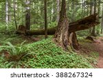 Understory Of An Old Growth...