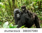 Mother Mountain Gorilla With A...