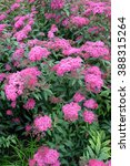Small photo of Blossoming spiraea Japanese (Spiraea japonica L.f.)