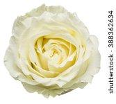 Stock photo white rose isolated on white background 388362634