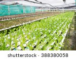 photograph of hydroponic...   Shutterstock . vector #388380058