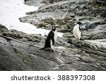 Small photo of Adelie or pygoscelis adeliae penguins are staying alone on the grey rock in snowing weather in Antarctica. There are rocks and snow in the background.