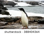 Small photo of Adelie or pygoscelis adeliae penguin is staying alone is snowing weather in Antarctica. There are sea, rocks and snow in the background.