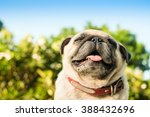 Stock photo  happy pug dog fawn pug dog smelling oxygen in the morning 388432696
