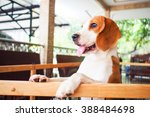 Little Beagle Dog Standing Nex...
