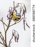 Small photo of Blue tit (Cyanistes caeruleus) on Alder tree (Alnus glutinosa) with catkins in Spring. Brecon Beacons, March