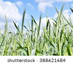 rye field in the sun with blue... | Shutterstock . vector #388621684