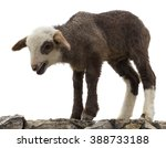 Lamb Standing On A Rock...