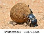 dung beetle rolling a dung ball | Shutterstock . vector #388736236