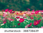 pink and red cosmos flowers...   Shutterstock . vector #388738639