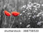 Red Poppy Flowers On Spring...