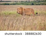 Beautiful Lion In The Bush At...