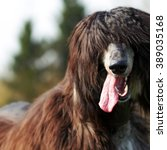 Small photo of happy dog Afghan hound with hair in hippie style