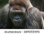Challenging Silverback Gorilla