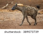 Close Up Wild Spotted Hyena ...