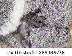 Koala Bear With Cub