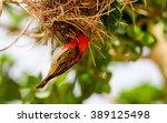 Red Headed Weaver Bird Buildin...