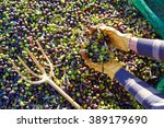 Olives Harvest Picking Hands...