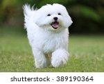 Happy Dog Running   Close Up O...