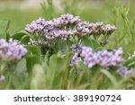 Common Sea Lavender  Limonium...