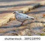 Pigeon. Free White Pigeon...