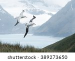 Small photo of Pair of wandering albatrosses flying above grassy hill, with snowy mountains and light blue ocean in the background, South Georgia Island, Antarctica