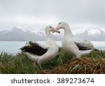 Small photo of Pair of wandering albatrosses on the nest, socializing, with snowy mountains and light blue ocean in the background, South Georgia Island, Antarctica