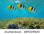 tropical fish double saddle... | Shutterstock . vector #389339830