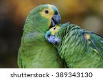 Small photo of Pair of amazon parrots Turquoise-fronted Parrot
