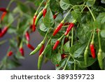 chilly peppers   chilly tree  ... | Shutterstock . vector #389359723
