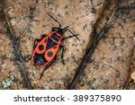 Red Soldier Bug In Forest