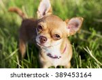 A Tiny Chihuahua On A Grassy...