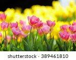 spring pink tulipa floral. | Shutterstock . vector #389461810