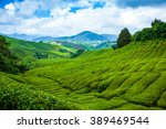 Tea Plantation In Cameron...