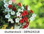 Petunia Flowers In Summer Garden