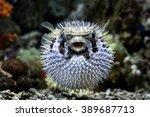 puffer fish | Shutterstock . vector #389687713