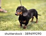 Black And Tan Dachshund Dog On...