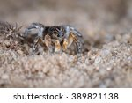 Small photo of Jumping Spider (Aelurillus v-insignitus) male