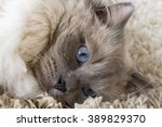 Gray Cat With Blue Eyes