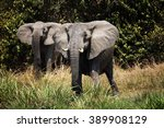 Two Female Elephants At The...