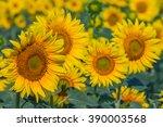 beautiful yellow sunflowers... | Shutterstock . vector #390003568
