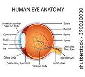 Illustration Of The Human Eye...