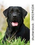 Black Labrador Dog In The...